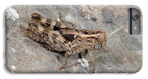 Grasshopper Calliptamus Barbarus Juvenile IPhone 6 Plus Case by Nigel Downer
