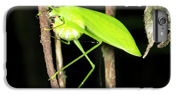 Katydid Laying Eggs IPhone 6 Plus Case by Dr Morley Read