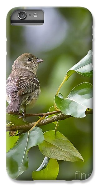 Lazuli Bunting Female 2 IPhone 6 Plus Case by Sharon Talson