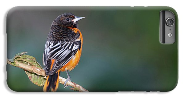 Male Baltimore Oriole, Icterus Galbula IPhone 6 Plus Case by Thomas Wiewandt