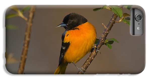 Male Northern Oriole IPhone 6 Plus Case by Thomas and Pat Leeson