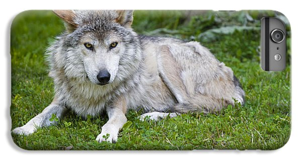 Mexican Gray Wolf IPhone 6 Plus Case by Sebastian Musial