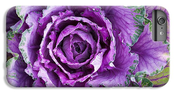 Ornamental Cabbage IPhone 6 Plus Case by Tim Gainey
