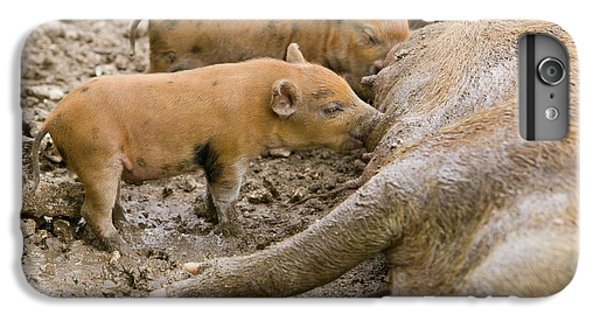 Pigs Reared For Pork On Tuvalu IPhone 6 Plus Case by Ashley Cooper