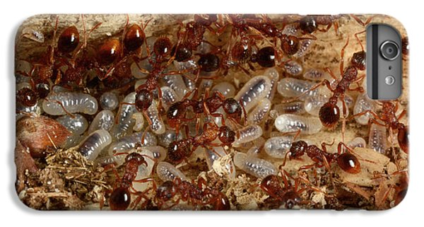 Red Ants With Larvae IPhone 6 Plus Case by Nigel Downer