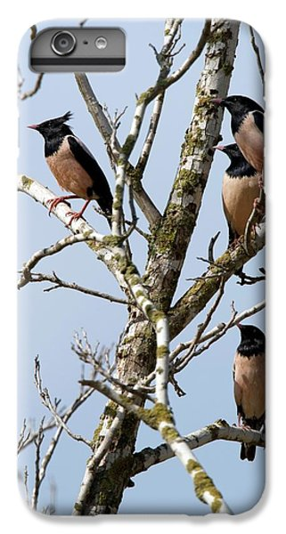 Rosy Starling (sturnus Roseus) IPhone 6 Plus Case by Photostock-israel