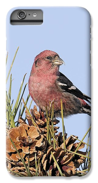 White-winged Crossbill On Pine IPhone 6 Plus Case by Allan Rube