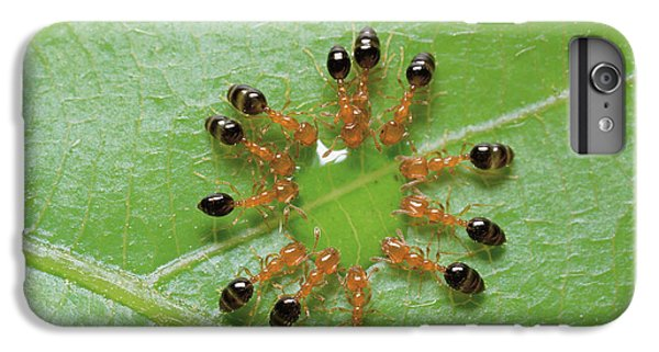 Ant Monomorium Intrudens Group Drinking IPhone 6 Plus Case by Takashi Shinkai