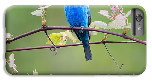 Indigo Bunting Perched Square IPhone 6 Plus Case by Bill Wakeley