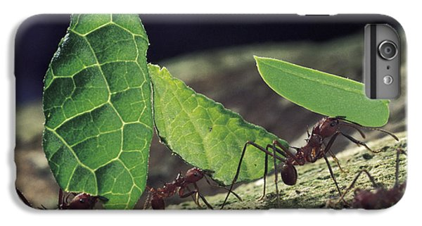 Leafcutter Ant Atta Cephalotes Workers IPhone 6 Plus Case by Mark Moffett