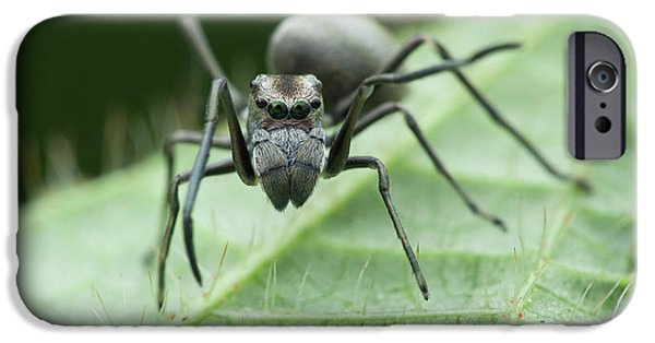 Ant Mimic Jumping Spider IPhone Case by Melvyn Yeo