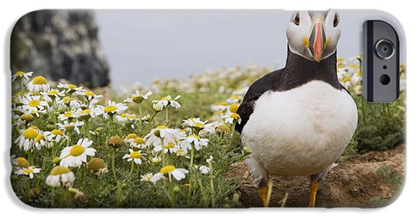 Atlantic Puffin In Breeding Plumage IPhone 6s Case by Sebastian Kennerknecht