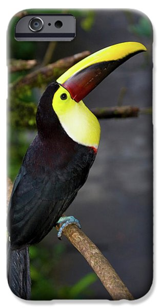 Chestnut-mandibled Toucan, Ramphastos IPhone 6s Case by Thomas Wiewandt