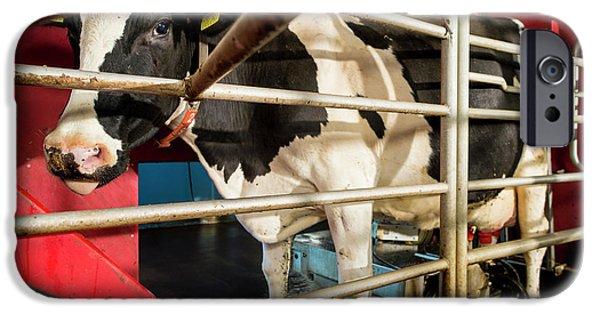 Cow In Milking Machine IPhone Case by Aberration Films Ltd