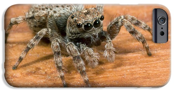 Jumping Spider IPhone Case by Nigel Downer