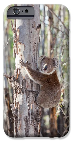 Koala Bear IPhone 6s Case by Ashley Cooper