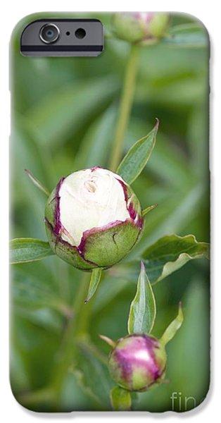 Paeonia Lactiflora Shirley Temple IPhone 6s Case by Jon Stokes