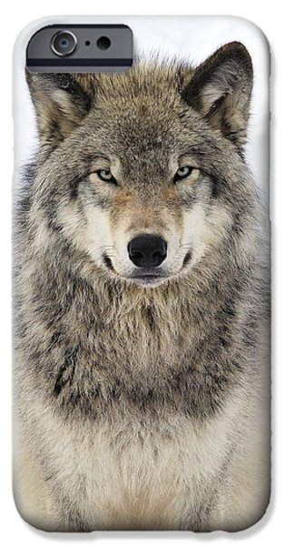 Timber Wolf Portrait IPhone 6s Case by Tony Beck