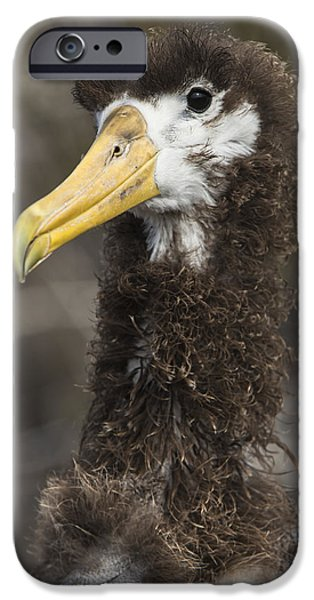Waved Albatross Molting Juvenile IPhone 6s Case by Pete Oxford