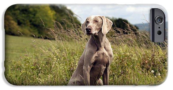 Weimaraner Dog IPhone Case by John Daniels