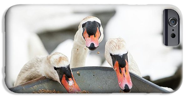 Wild Mute Swans Pinching Grain IPhone Case by Ashley Cooper