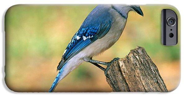 Blue Jay IPhone 6s Case by Millard H. Sharp