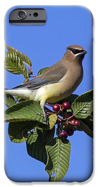 Cedar Waxwing IPhone Case by Angie Vogel
