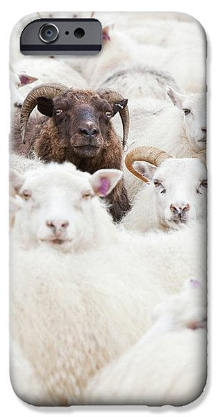 Icelandic Sheep IPhone Case by Ashley Cooper