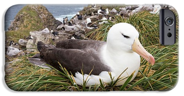 A Black Browed Albatross IPhone 6s Case by Ashley Cooper