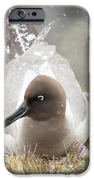 A Light Mantled Albatross IPhone 6s Case by Ashley Cooper