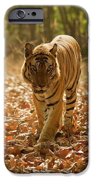 Asia, India, Bandhavgarh National Park IPhone Case by Joe and Mary Ann Mcdonald