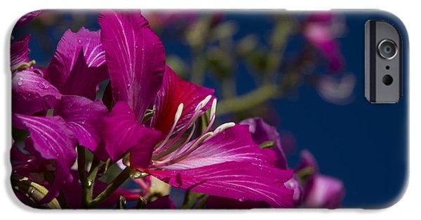 Bauhinia Purpurea - Hawaiian Orchid Tree IPhone Case by Sharon Mau
