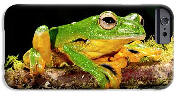Giant Gliding Treefrog, Polypedates Kio IPhone Case by David Northcott