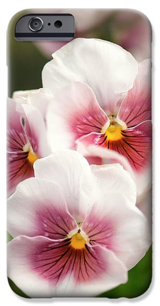 Pansy (viola X Wittrockiana) IPhone Case by Maria Mosolova