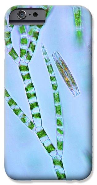 Diatom And Green Algae IPhone Case by Marek Mis