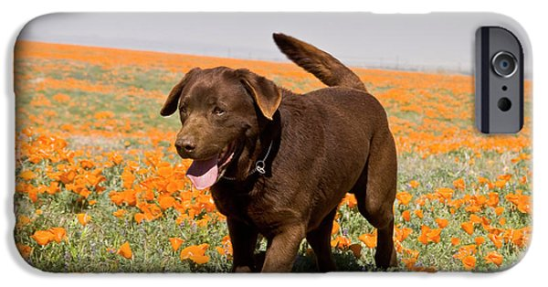 A Chocolate Labrador Retriever Walking IPhone Case by Zandria Muench Beraldo