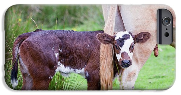 A Cow With A New Born Calf IPhone Case by Ashley Cooper