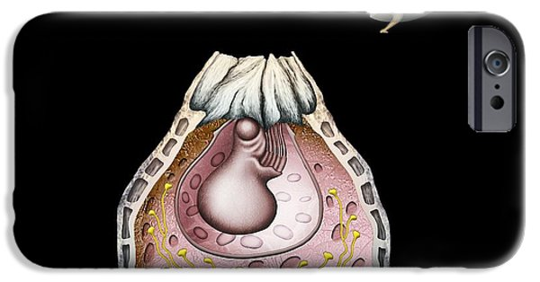 Acorn Barnacle Anatomy IPhone Case by Mikkel Juul Jensen