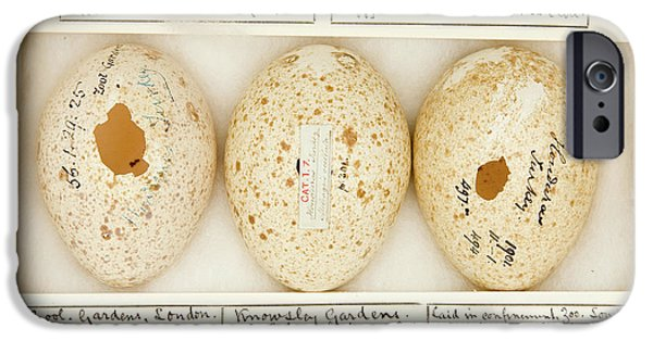 Agriocharis Ocellata Eggs IPhone Case by Natural History Museum, London