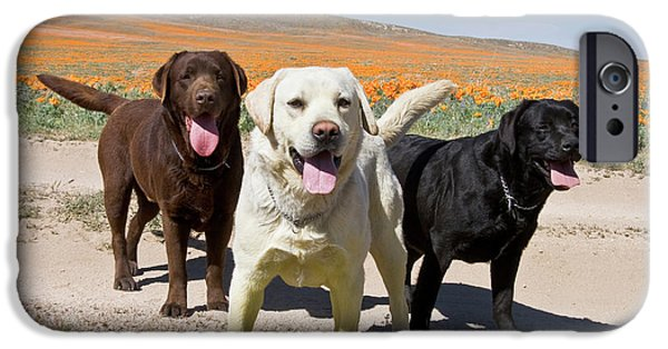 All Three Colors Of Labrador Retrievers IPhone Case by Zandria Muench Beraldo
