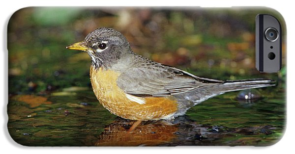 American Robin (turdis Migratorius IPhone 6s Case by Richard and Susan Day