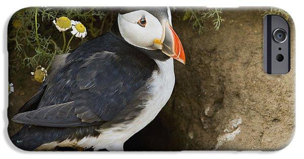 Atlantic Puffin At Burrow Skomer Island IPhone 6s Case by Sebastian Kennerknecht