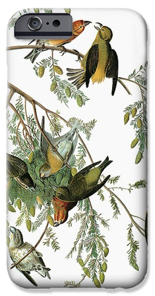 Audubon Crossbill IPhone 6s Case by Granger