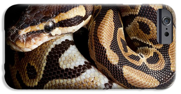 Ball Python Python Regius IPhone 6s Case by David Kenny