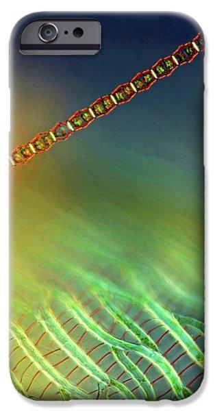 Bambusina Desmid IPhone Case by Marek Mis