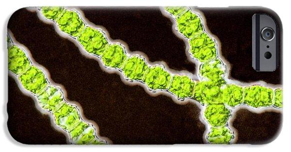 Bambusina Sp. Green Alga IPhone Case by Gerd Guenther