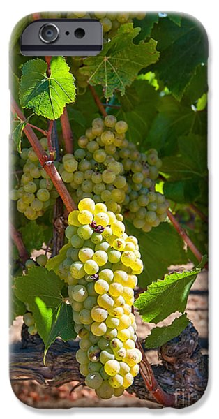Beautiful Grapes From Wine Vineyards In Napa Valley California. IPhone Case by Jamie Pham