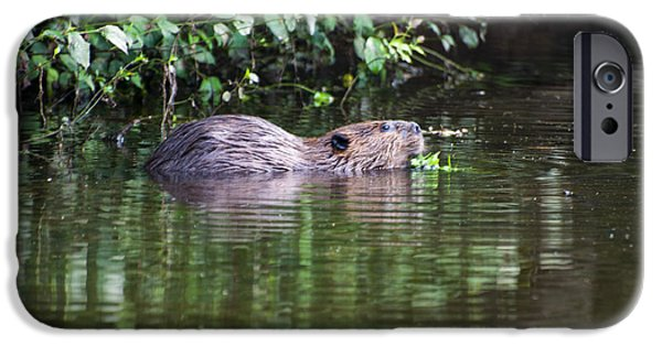 beaver swims in NC lake IPhone Case by Chris Flees