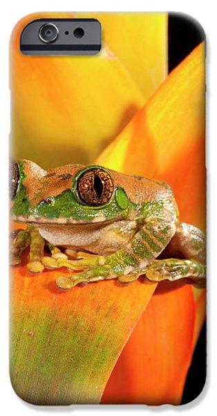 Big Eye Treefrog, Leptopelis IPhone Case by David Northcott