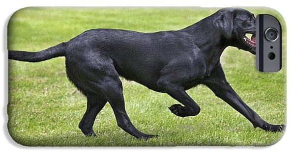 Black Labrador Playing IPhone Case by Johan De Meester